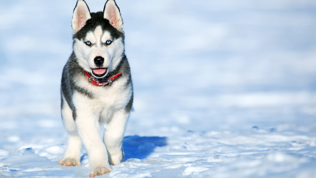 Tiny Siberian Husky puppy out in the snow