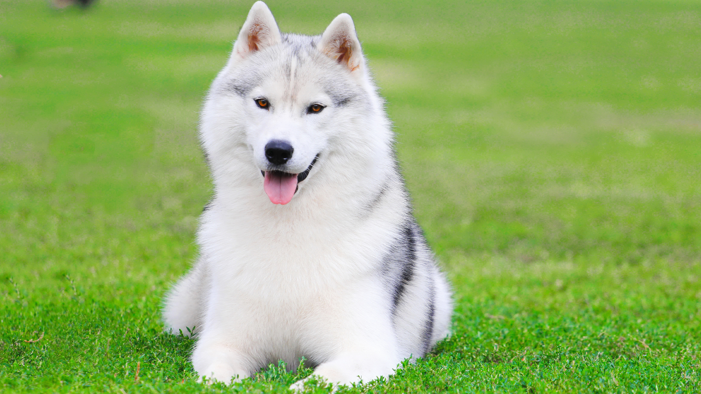 Fluffy white husky with brown eyes laying on the green grass with a smile on his face.