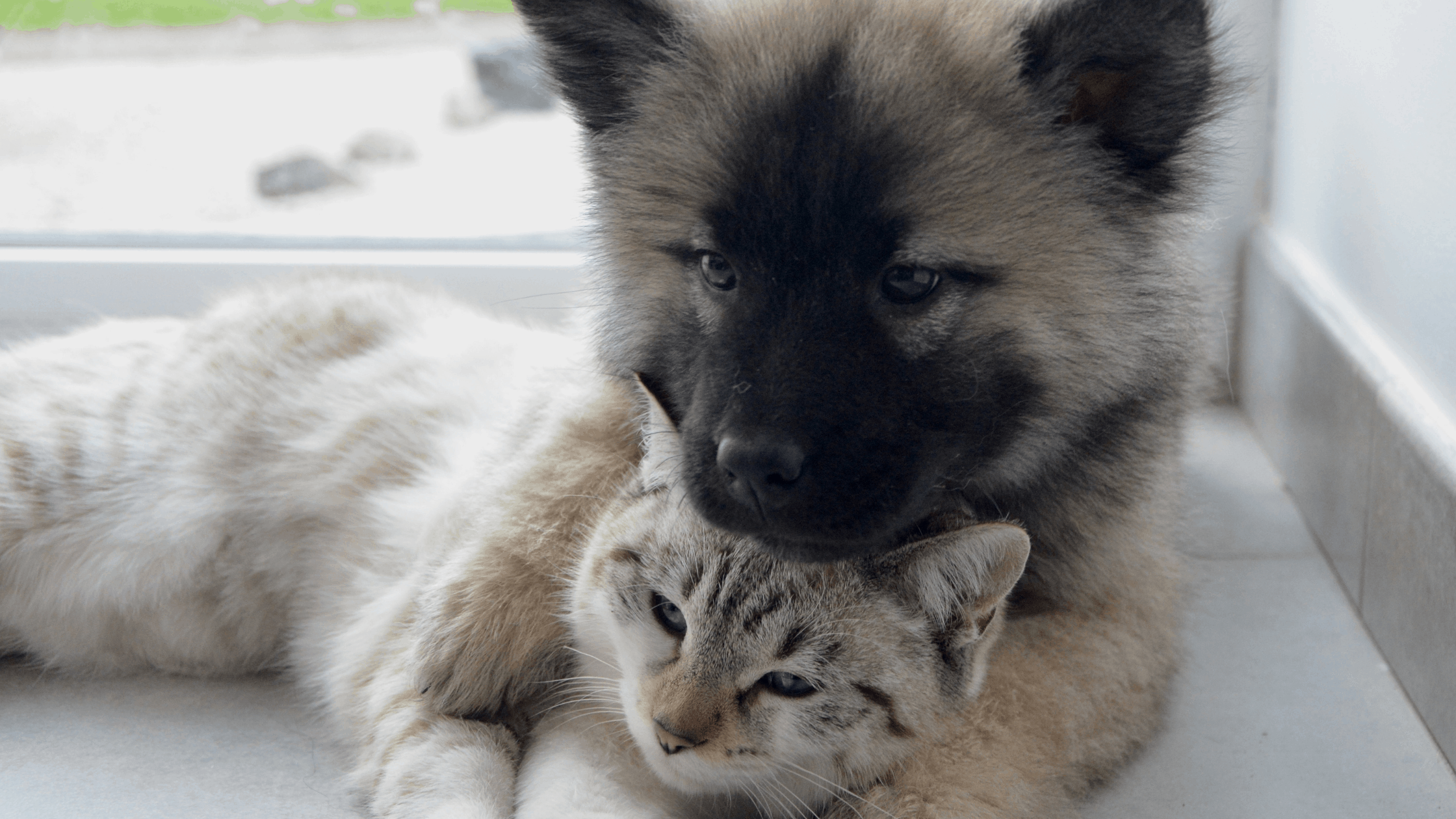 Fluffy brown and black puppy resting his head on top of a gray and white cat while snuggling together.