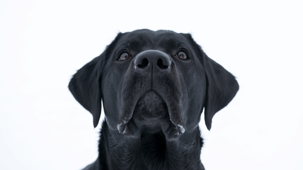Head of a Black Labrador looking slightly up and sad.